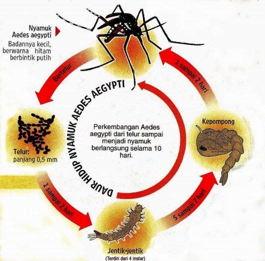 Daur Hidup Aedes aegypti